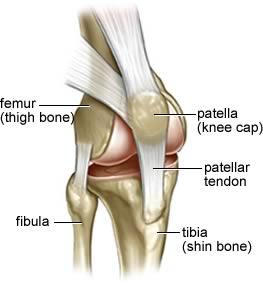 anatomy_of_knee